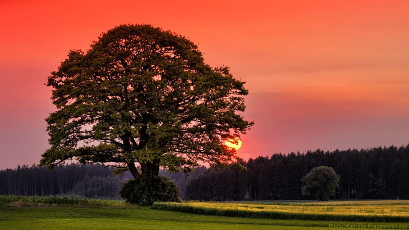 Old Oak at Sunset