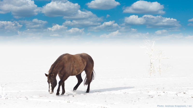 Stallion in Winter Wonderland